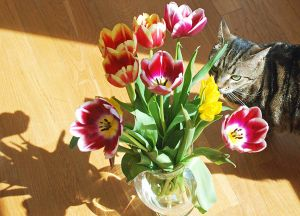 Audrey and Tulips