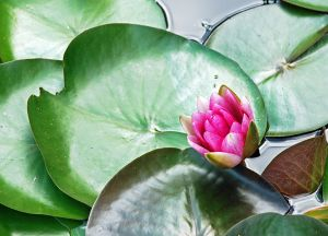 Water-Lily-1.jpg